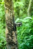 Una cacerola de goteo en un árbol de goma Imágenes de archivo libres de regalías