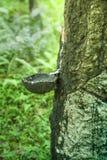 Una cacerola de goteo en un árbol de goma Imagen de archivo libre de regalías
