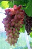 Una cadena larga de pasas púrpuras Imagen de archivo libre de regalías