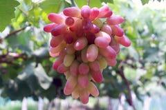 Una cadena larga de pasas púrpuras Foto de archivo libre de regalías