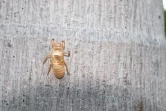 Una caduta delle coperture della cicala sul tronco di albero immagine stock