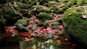 Una caduta rossa delle foglie di acero sulla pietra Ed il muschio vive in pietra intorno ad area Fotografia Stock Libera da Diritti
