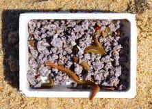 Caja de cebo de pesca de los gusanos Fotografía de archivo