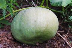 Una calabaza verde grande, creciendo en una cama, en un jardín, está en la tierra Imagen tomada después de la lluvia Fotos de archivo