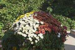 Una cama de flor con los crisantemos multicolores imagen de archivo libre de regalías