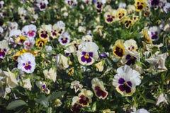 Una cama de flor con los pensamientos multicolores Fotografía de archivo