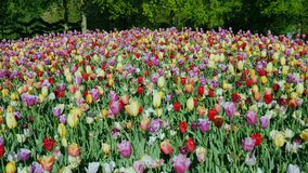 Una cama de flor grande y los tulipanes coloridos en el Keukenhof parquean Tiro de la grúa almacen de video