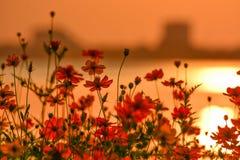 Una cama de flores hermosa del cosmos y opiniones del lago fotografía de archivo libre de regalías