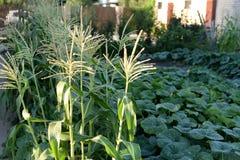 Una cama del maíz con las mazorcas y los brotes crece en el verano al lado de los campos de la calabaza imagen de archivo libre de regalías