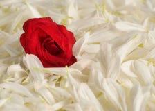 Una cama para una rosa (ver 2) Imagenes de archivo