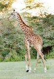Una camminata alta della giraffa Immagine Stock