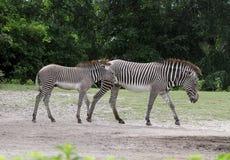 Una camminata di due zebre immagini stock