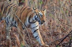 Una camminata selvaggia della tigre Fotografia Stock