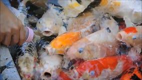Una cantidad de los pescados de Koi consigue de alimentación de un biberón en una charca metrajes