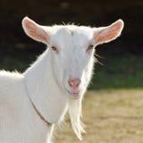 Una capra. Fotografia Stock Libera da Diritti