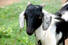 Una capra Fotografia Stock