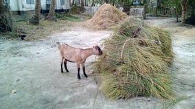 Una capra Fotografie Stock