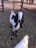 Una capra Fotografie Stock Libere da Diritti