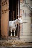 Una capra bianca Fotografia Stock