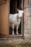 Una capra bianca Fotografia Stock Libera da Diritti