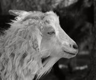 Una capra bianca. Immagine Stock