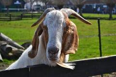 Una capra bianca e marrone con una barba ed i corni fotografie stock