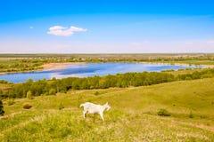Una capra cammina lungo un'alta collina sopra il lago, mangia l'erba verde, un cielo blu profondo, un bello paesaggio dell'estate Immagini Stock Libere da Diritti