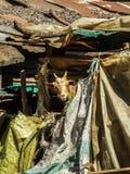 Una capra che guarda da una casa in Tanzania Africa Immagine Stock Libera da Diritti
