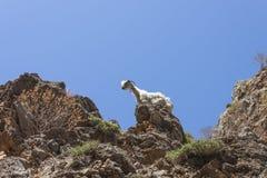 Una capra che scala su una roccia Immagine Stock Libera da Diritti