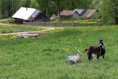 Una capra con un bambino che pasce in un prato fotografia stock libera da diritti