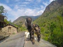 Una capra del bambino sulla cima del tetto, animale da allevamento, paesaggio rustico dell'azienda agricola Fotografia Stock Libera da Diritti