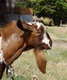 Una capra della ram nei tropici Fotografia Stock Libera da Diritti