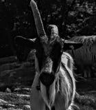 Una capra di courios immagine stock
