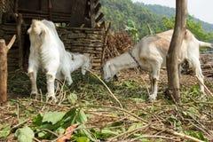 Una capra di due giovani nella penna mangia il fieno fresco immagine stock libera da diritti
