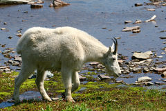 Una capra di montagna bianca e un lago glaciale Fotografie Stock Libere da Diritti