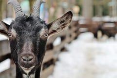 Una capra domestica Fotografia Stock Libera da Diritti