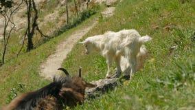 Una capra grigia e una coppia le piccole capre su un percorso della montagna archivi video