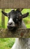 Una capra pigmea Fotografia Stock