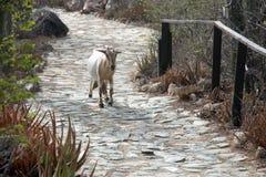 Una capra selvaggia Fotografia Stock Libera da Diritti