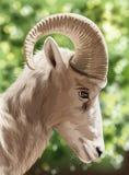 Una capra selvaggia Fotografie Stock