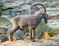 Una capra selvaggia sulla roccia Immagine Stock