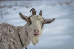 Una capra sorridente bianca Fotografie Stock Libere da Diritti