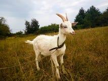 Una capra sta in un campo Immagine Stock Libera da Diritti