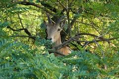 Una capra sull'albero fotografia stock libera da diritti