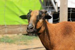 Una capra in un parco immagini stock