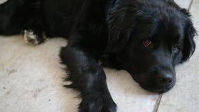 Una cara del perro triste Foto de archivo
