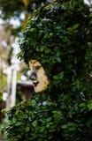 Una cara en las hojas verdes Fotografía de archivo libre de regalías
