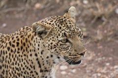 Una cara femenina del leopardo imagenes de archivo