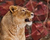 Una cara hermosa de una leona es un retrato en perfil, un fondo rojo, dientes descubrió en un gruñido, mujer hermosa, independien imagenes de archivo
