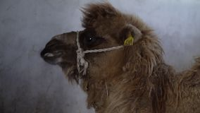 Una cara peluda del ` s del camello metrajes
